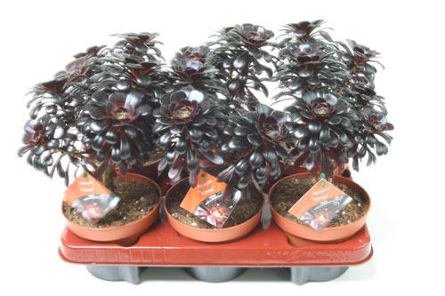 Plante grasse AEONIUM NIGRUM