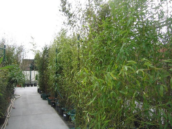 Bambous en magasin