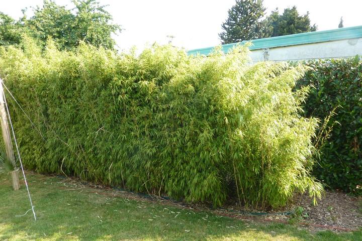 Haie de Bambous cache vis à vis