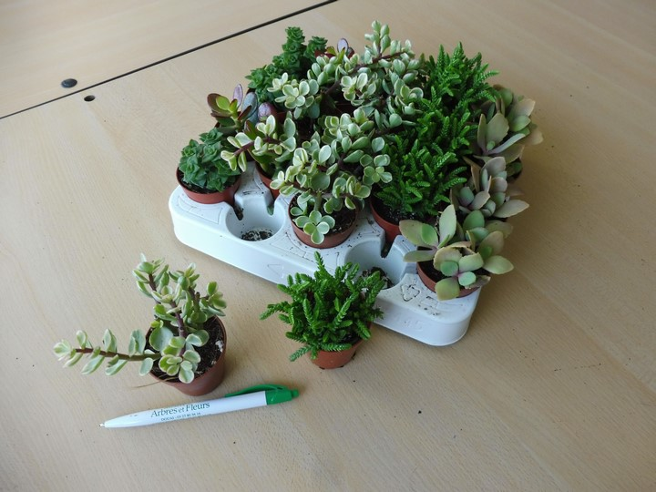 Mini plantes grasse