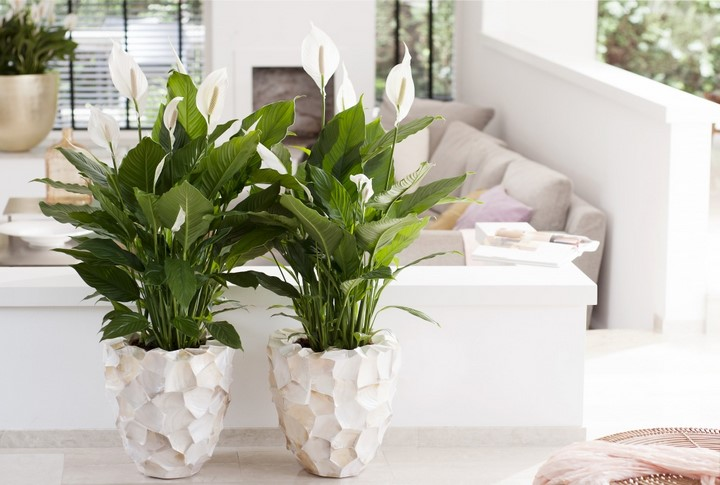 Spathiphyllum Photo maplantemonbonheur.fr