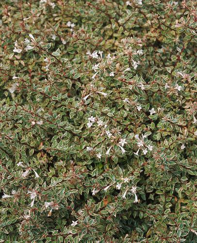 ABELIA grandiflora Panaché