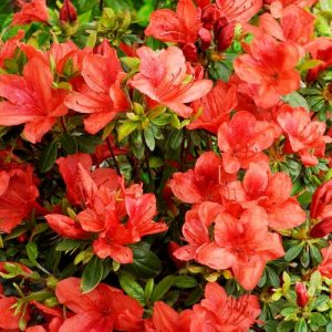 AZALEA Japonica ORANGE WAY