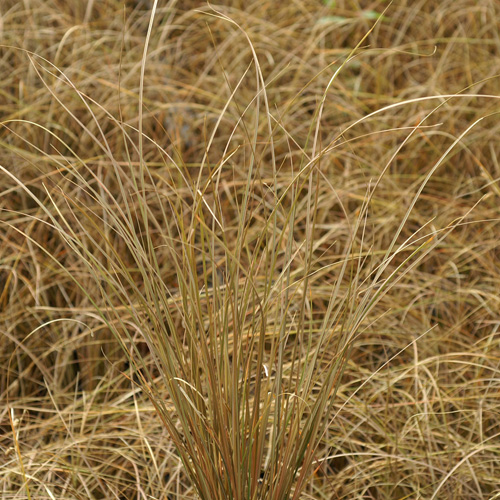 CAREX comans Bronze Form