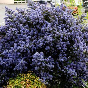 CEANOTHE Puget Blue