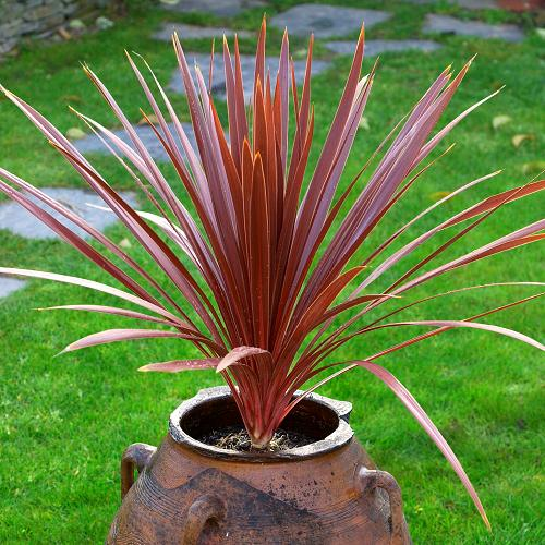 CORDYLINE d'Australie Torbay Red Star