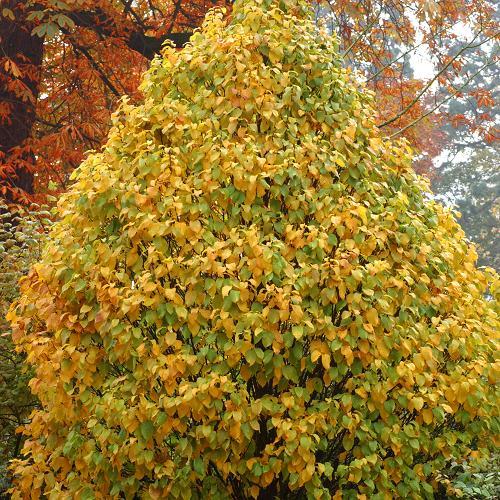 Charme = Carpinus Betulus Monumentalis
