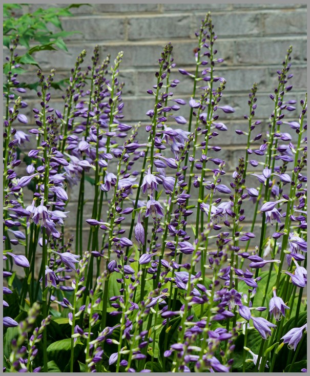 Fleurs d'Hosta