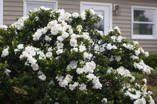GARDENIA Jasminoides Crown Jewel