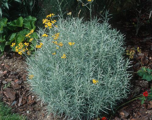 HELICHRYSUM Italicum Sub. serotinum
