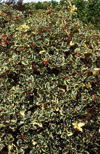 HOUX commun DE Mme Briot = ILEX aquifolium