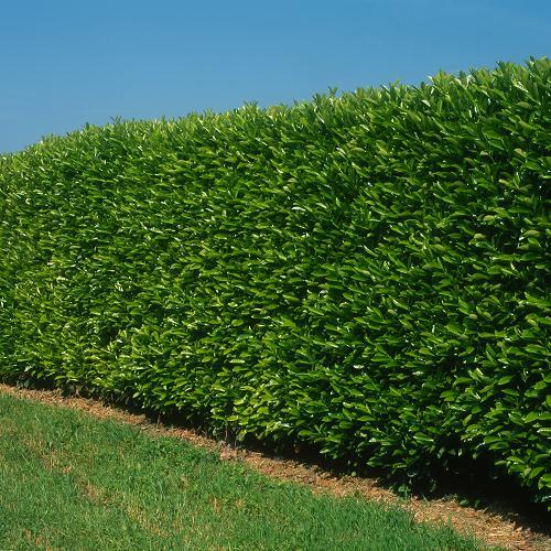 Laurier = Prunus Laurocerasus Caucasica