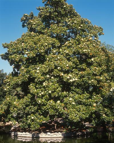 MAGNOLIA Grandiflora Galissoniensis
