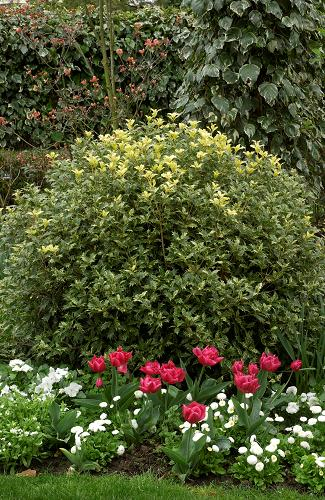 OSMANTHUS heterphyllus Tricolor