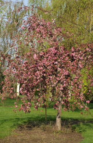 POMMIER d'Ornement MALUS Cheal's Weeping