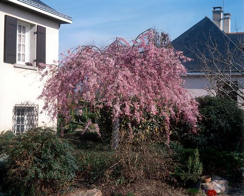 PRUNUS Pendula Rubra = CERISIER D'Hiver du Japon