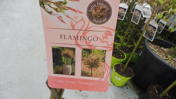 SAULE CREVETTE tronc tressé Flamingo