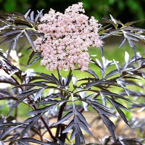 SUREAU = SAMBUCUS nigra Black Lace Eva