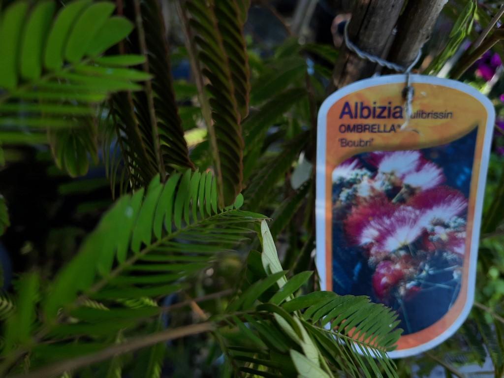 Albizia ou Arbre à soie