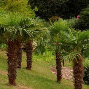 tracheycarpus