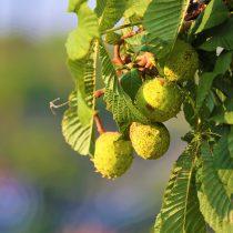 chestnut-3722518_1920