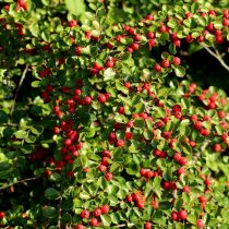 cotoneaster-3740903_1920