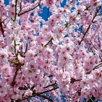 japanese-cherry-blossom-2168858_1920