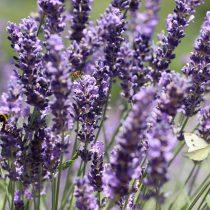 lavender-4348354_1920