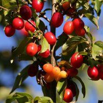red-berries-5445647_1920